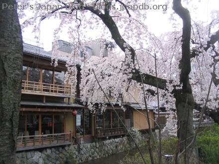 Sakura trees in Kyoto